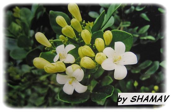 fleurs buis