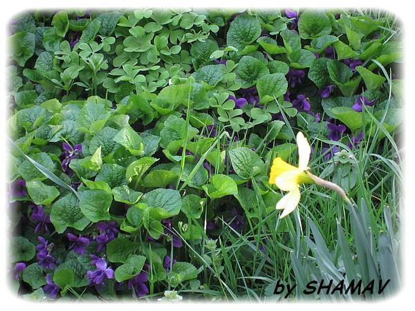 violettes1