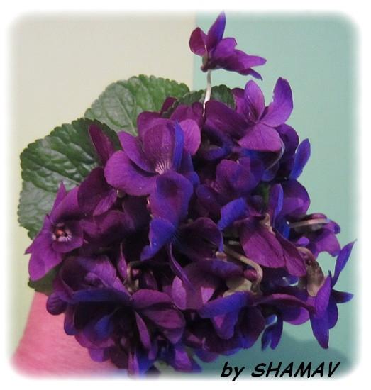 violettes2