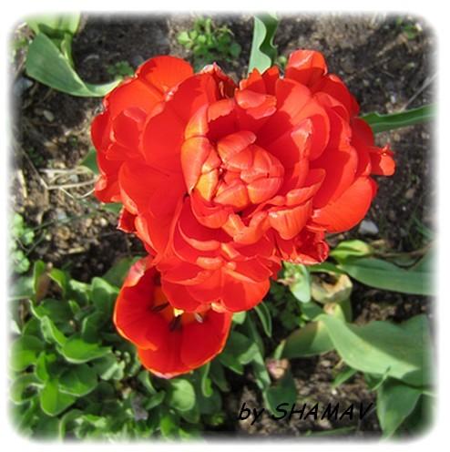 tulipe double rouge