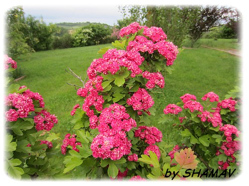 enchantement rose