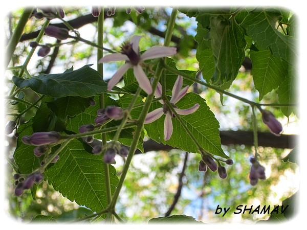 fleurslilas