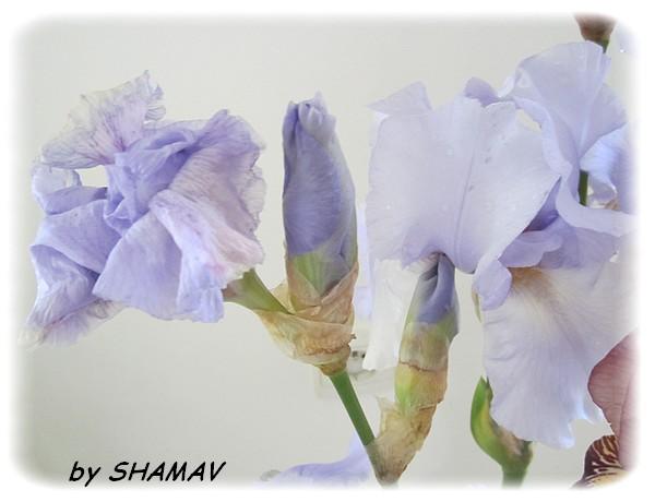 iris in
