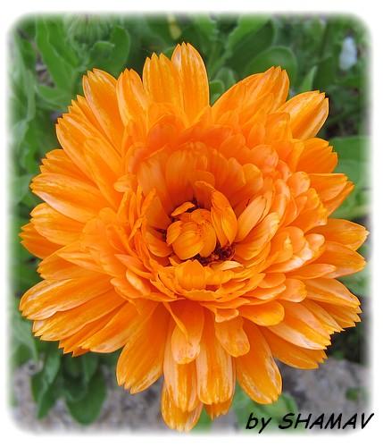 souci orange