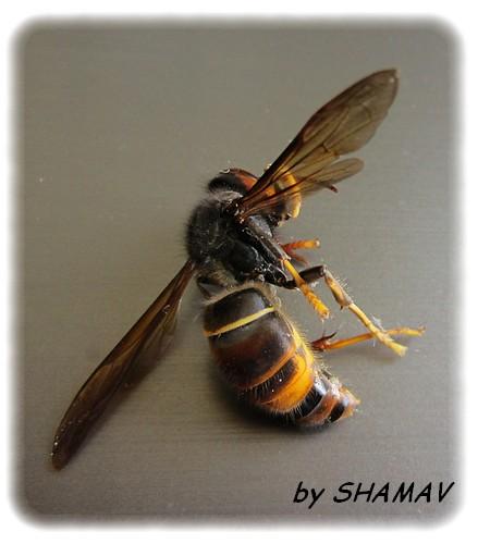 abeille déf