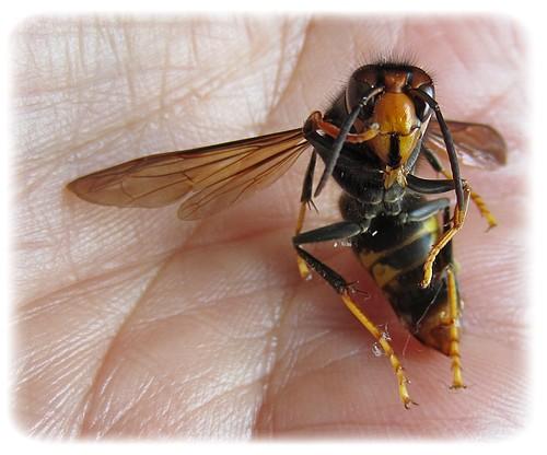 abeille4