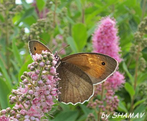 papillon été 2013