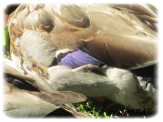 aile violette