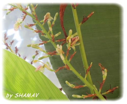 fleur gingembr