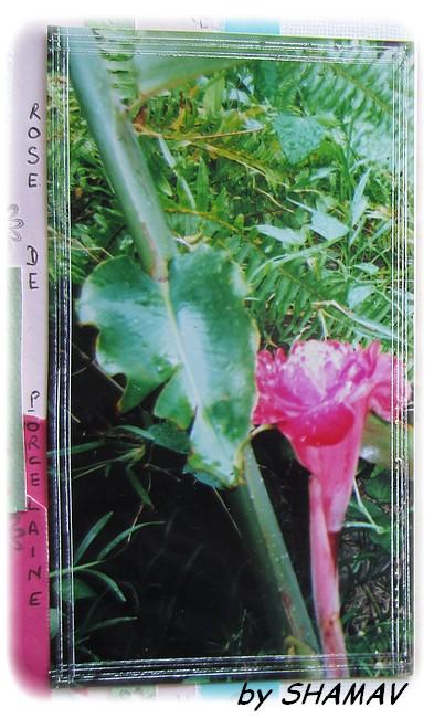 rose de p
