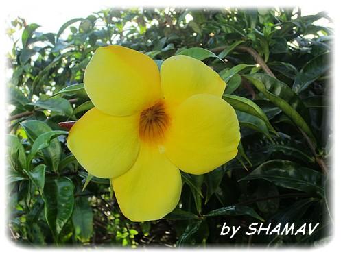 jaune alamanda