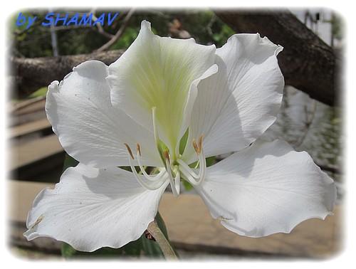judée blanc