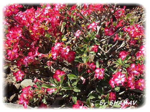 roses du désert