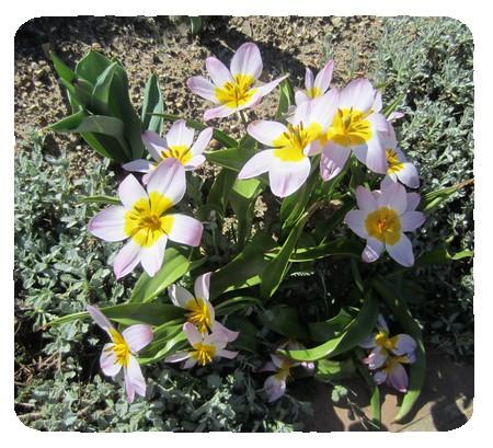 mini tulipes