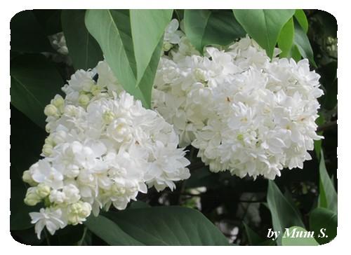 IMG_0131lilas blanc