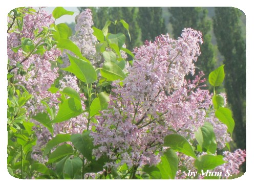 IMG_015lilas violet