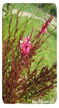 gauras roses