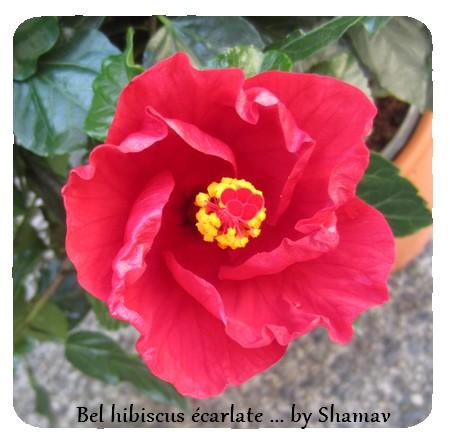 bel hibis