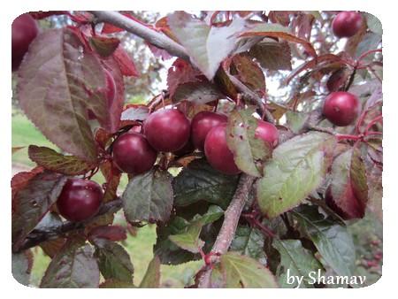 prunes foncées