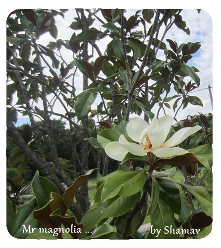 mr magnolia