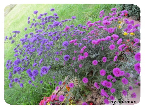 asters seuls