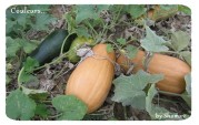 courges3