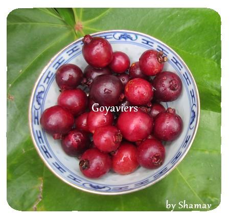 goyaviers