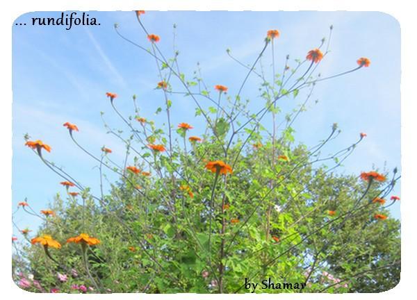 rotundifolia
