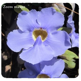 zoom mauve