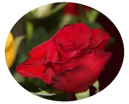 rose roug