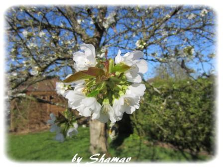 cerisier original