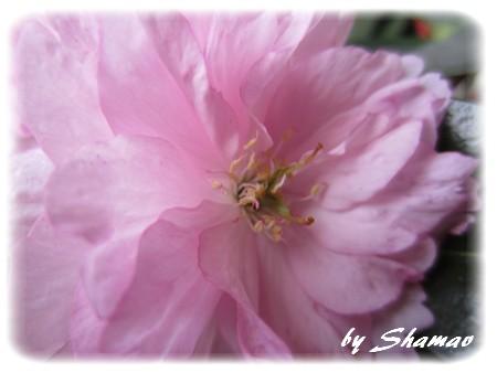 IMG_0070Fragilité rose