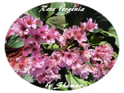rose bergenia