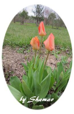 tulipes orange