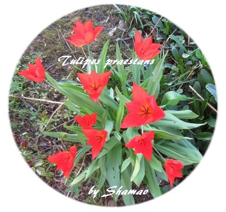 tuliupes