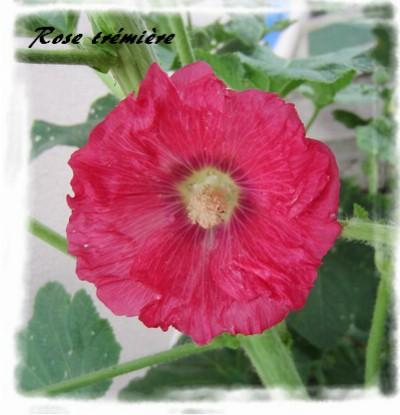 rose trm