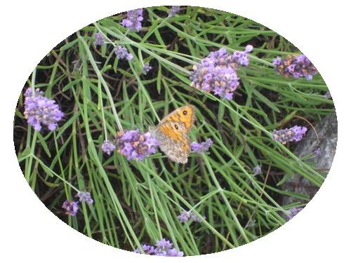lavand & papillon