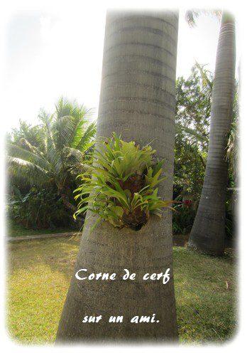corne-cerf